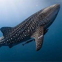 """Phát hiện mới về loài cá mập lớn nhất thế giới có """"đôi mắt bọc thép"""""""