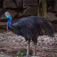 Phát hiện mới về loài chim nguy hiểm nhất thế giới có móng sắc như dao