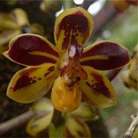 Phát hiện một loài lan mới ở Hòn Bà, Khánh Hòa