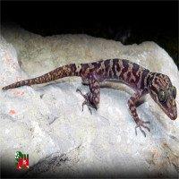 Phát hiện một loài Thằn lằn ngón mới ở Ninh Bình
