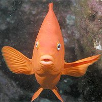 Phát hiện nhớt cá có thể diệt vi khuẩn kháng thuốc, tế bào ung thư