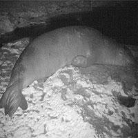 Phát hiện nơi sinh sản của loài hải cẩu hiếm nhất thế giới