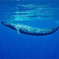 Phát hiện quần thể cá voi xanh lùn mới ở Ấn Độ Dương