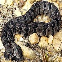 Phát hiện rắn chuông 2 đầu ở Mỹ