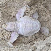 Phát hiện rùa bạch tạng hiếm ở Australia