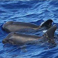 Phát hiện sinh vật lai mới giữa cá heo và cá voi