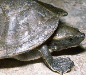 Phát hiện sự pha trộn gen ở loài rùa sông Trung Mỹ