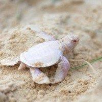 Phát hiện thấy rùa con bạch tạng cực hiếm gặp