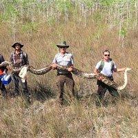 Phát hiện trăn khổng lồ dài hơn 5 m mang thai 73 quả trứng ở Mỹ
