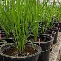 Phát hiện về lá đòng giúp cải thiện hiệu suất cây lúa