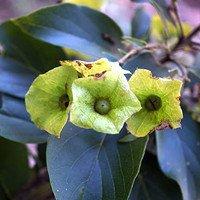 Phát hiện vùng phân bố mới của loài thực vật trong Sách đỏ