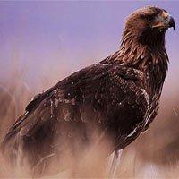 Phát hiện xác đại bàng vàng hoang dã già nhất thế giới