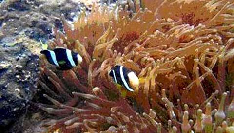 Phạt nặng hành vi xâm hại san hô bán đảo Sơn Trà