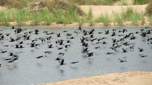 Phú Yên: Vịt trời xuất hiện đen đặc trên sông Ba
