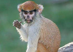 Puerto Rico thanh trừng khỉ