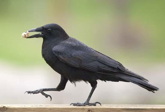 Quạ có thể nhận biết tiếng nói con người