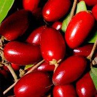 Quả thần kì ở Việt Nam có thể biến mọi vị thành vị ngọt