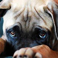 Quá trình tiến hóa đã ban cho chó đôi mắt long lanh, để giờ chúng