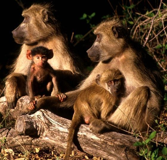 Quan hệ xã hội có ý nghĩa quan trọng đối với khỉ đầu chó