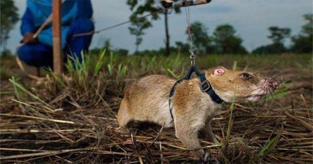 Quốc gia này còn 5 triệu quả mìn, mất ít nhất 150 năm để dọn sạch, giờ đây được giúp sức bởi một loài vật