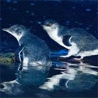 Quỷ Tasmania giết chết hàng nghìn con chim cánh cụt