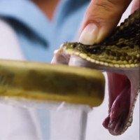 Quy trình vắt nọc rắn độc để chế huyết thanh