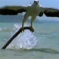 Rắn biển tử chiến đại bàng và cái kết bị xẻ thịt cực tàn nhẫn