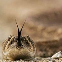 Rắn đuôi chuông xuất hiện tràn lan ở California