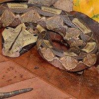 Rắn hổ lục Gaboon - Loài rắn độc nặng nhất ở châu Phi