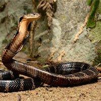 Rắn hổ mang chúa - Loài rắn có nọc đọc lớn nhất thế giới