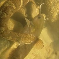 Rắn nước oằn mình ngoạm chặt cá dưới sông