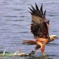 Rắn ranh mãnh cướp cá ngay trong chân đại bàng