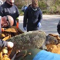Rùa 160kg sốc lạnh dạt vào bờ biển Mỹ