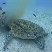Rùa biển chui đầu vào ống nước ăn chất thải