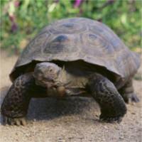 Rùa cái 100 tuổi bỏ nhà đi hơn 10km tìm bạn tình