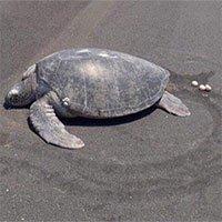 Rùa hiếm trở lại