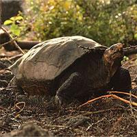 Rùa khổng lồ tưởng tuyệt chủng 100 năm trước nay lại