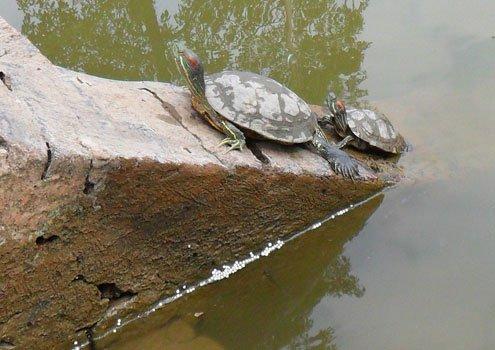 Rùa tai đỏ xâm nhập hồ Gươm ngày càng nhiều