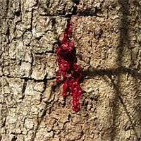 """""""Rùng mình"""" loài cây chảy máu giống con người!"""