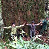 Rừng sa mu di sản khổng lồ ở biên giới Việt - Lào