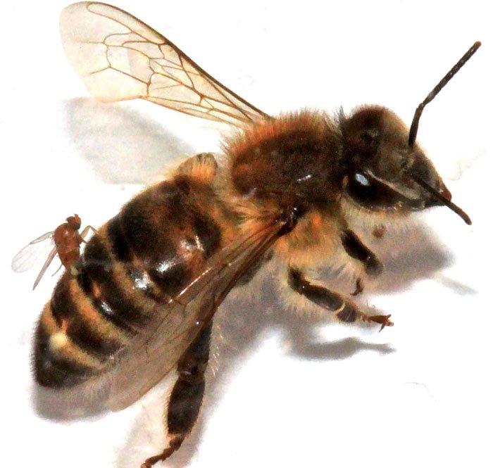 Ruồi ký sinh biến ong thành thây ma