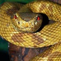 Sắp có thuốc giải độc cho tất cả các loại rắn