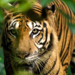 Sẽ không còn hổ ở châu Á