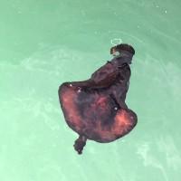Sên biển bơi như cá đuối, phun dịch như mực