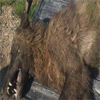 Sinh vật giống sói khiến giới nghiên cứu bối rối