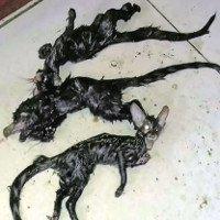 Sinh vật lạ đầu mèo mình chuột khiến dân Nam Phi sợ hãi