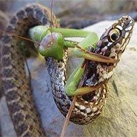 """Sốc trước cảnh bọ ngựa """"ăn tươi, nuốt sống"""" rắn cỏ"""