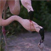 Sốc với clip hồng hạc mổ đầu nhau lấy máu nuôi con, nhưng lý do thật thì ai cũng cảm thấy xao xuyến