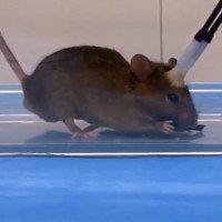 Sốc với nghiên cứu biến chuột thành