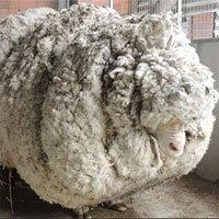 Sự ra đi của chú cừu Chris nổi tiếng về bộ lông khổng lồ nhất thế giới